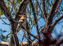 在一棵树的戴胜鸟用食物 免版税图库摄影