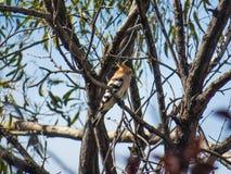 在一棵树的戴胜鸟用食物 免版税库存图片