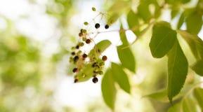 在一棵树的黑莓果在自然 库存图片