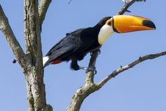 在一棵树的Excotic Toucan鸟在蓝天 免版税库存图片