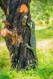 在一棵树的Goanna在维多利亚,澳大利亚 库存图片