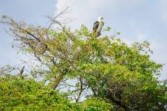 在一棵树顶部的一只海鹰在Corroboree Billabong在北方领土,澳大利亚 免版税库存图片