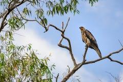 在一棵树顶部的一只老鹰在Corroboree Billabong NT,澳大利亚 库存照片