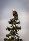 在一棵树顶部的白头鹰在不列颠哥伦比亚省,加拿大 库存照片