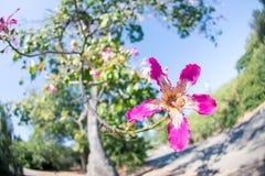 在一棵桃红色丝绸绣花丝绒树的一朵美丽的花 库存图片