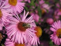 在一棵桃红色春黄菊的黄蜂 免版税图库摄影