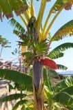 在一棵棕榈树的闭合的香蕉花在海滩在阿拉尼亚土耳其 免版税图库摄影