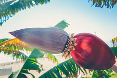 在一棵棕榈树的闭合的香蕉花在海滩在阿拉尼亚土耳其 T 图库摄影