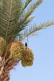 在一棵棕榈树的黑鸟与日期 免版税图库摄影