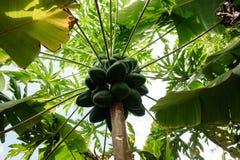 在一棵棕榈的绿色番木瓜在种植园在大加那利岛海岛,西班牙 免版税库存图片