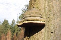 在一棵棕色树的Muschroom 免版税库存图片