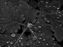 在一棵植物的叶子的水滴一张黑白照片的 图库摄影