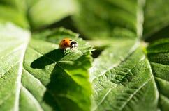 在一棵植物的瓢虫自然的 宏指令 免版税库存图片