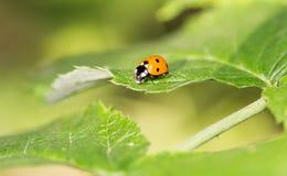 在一棵植物的瓢虫自然的 宏指令 库存照片