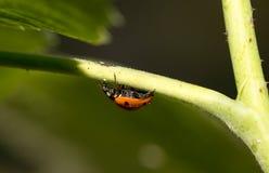 在一棵植物的瓢虫自然的 宏指令 图库摄影