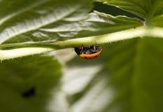 在一棵植物的瓢虫自然的 宏指令 库存图片