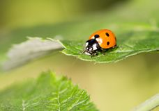 在一棵植物的瓢虫自然的 宏指令 免版税库存照片