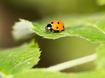 在一棵植物的瓢虫自然的 宏指令 免版税图库摄影