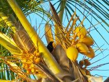 在一棵椰子树中间的黑鸟,在海滩 加勒比海 委内瑞拉 库存照片