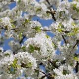 在一棵樱桃树的开花在春天 免版税图库摄影