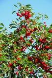 在一棵樱桃树的成熟樱桃反对蓝天 免版税库存图片