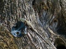在一棵橄榄树的正常蜥蜴 库存图片