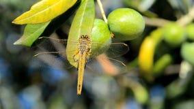 在一棵橄榄树的蜻蜓 股票视频