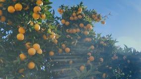 在一棵橙树的分支的水多的成熟桔子在温暖的晴朗的天气的 图库摄影