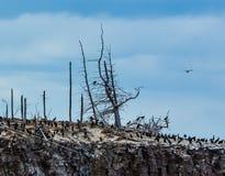 在一棵死的树的鸬鹚 免版税库存照片