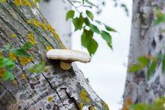 在一棵残破的树的真菌 库存照片