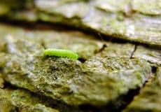 在一棵洋梨树的吠声的一条锯蝇毛虫与一只蚂蚁的在背景中 免版税库存照片