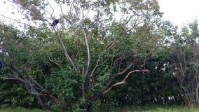 在一棵淡紫色树的乌鸦 库存图片