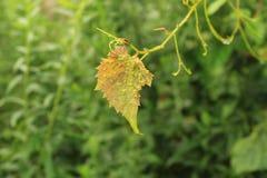 在一棵狂放的葡萄树的唯一叶子 免版税库存图片