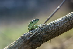 在一棵生存树的蜥蜴 免版税图库摄影