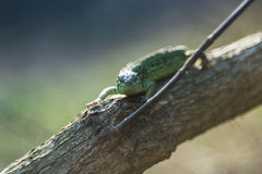 在一棵生存树的蜥蜴 库存照片