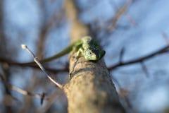 在一棵生存树的蜥蜴 免版税库存图片