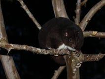 在一棵番石榴树的山Cuscus在晚上 免版税图库摄影