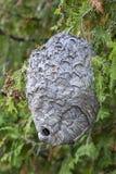 在一棵白扁柏树的纸质黄蜂巢 免版税库存照片