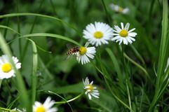 在一棵白色春黄菊的Hoverfly 免版税库存图片