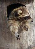 在一棵空心树的滑稽的浣熊 免版税图库摄影