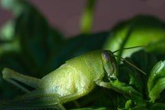 在一棵紫花罗勒植物的鲜绿色的蚂蚱在庭院里 库存照片