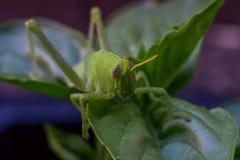 在一棵紫花罗勒植物的鲜绿色的蚂蚱在庭院里 免版税库存图片