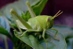 在一棵紫花罗勒植物的鲜绿色的蚂蚱在庭院里 库存图片