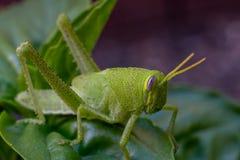 在一棵紫花罗勒植物的鲜绿色的蚂蚱在庭院里 免版税图库摄影
