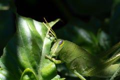 在一棵紫花罗勒植物的鲜绿色的蚂蚱在庭院里 免版税库存照片