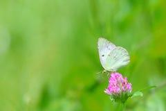 在一棵红三叶草的纹白蝶 库存照片
