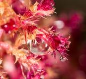 在一棵红色植物的水下落 2009朵超级花宏观的夏天 库存图片