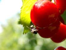 在一棵红色樱桃的飞行 免版税图库摄影