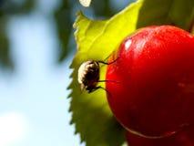 在一棵红色樱桃的飞行 免版税库存照片
