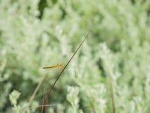 在一棵红色草栖息的蜻蜓 免版税库存图片